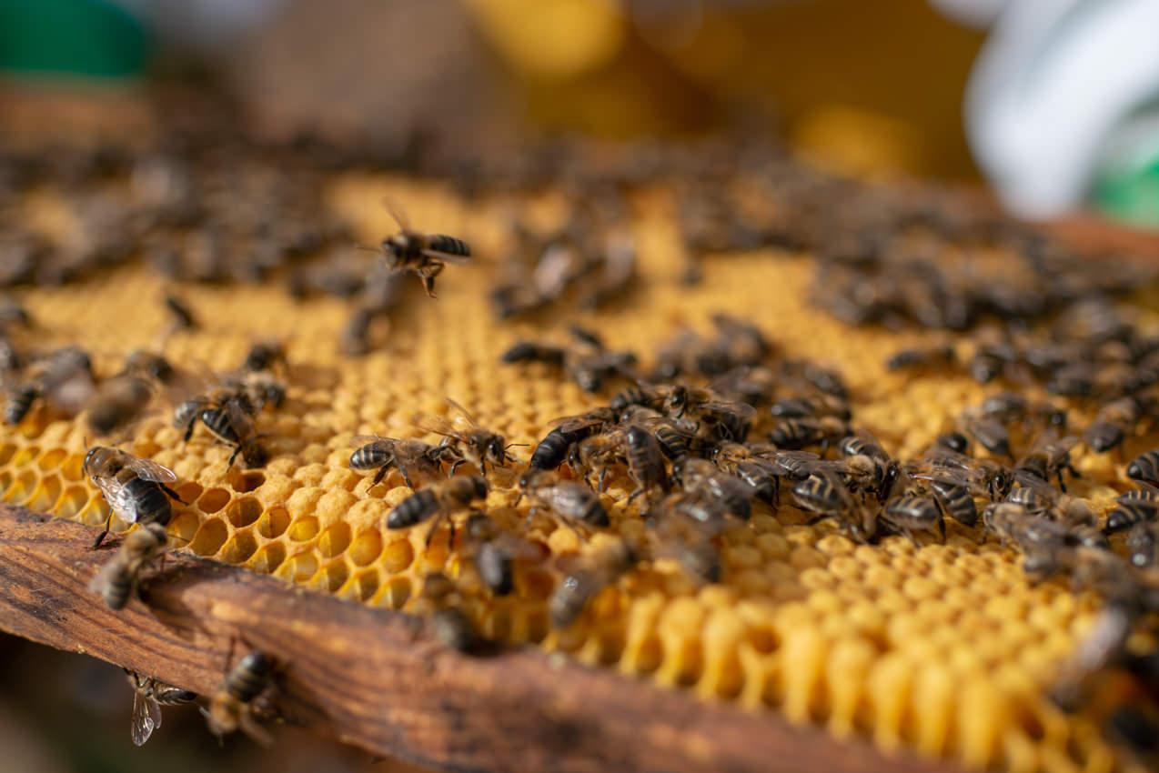 Panal de cría de abeja en Tenerife