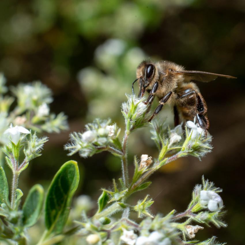 Abeja en flor de poleo