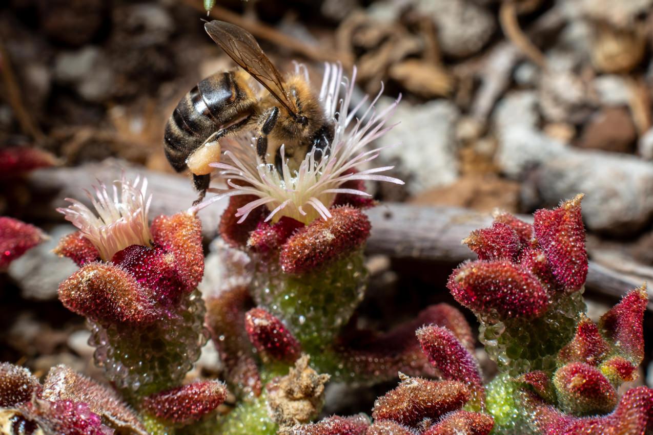 Abeja polinización en flor de barrilla