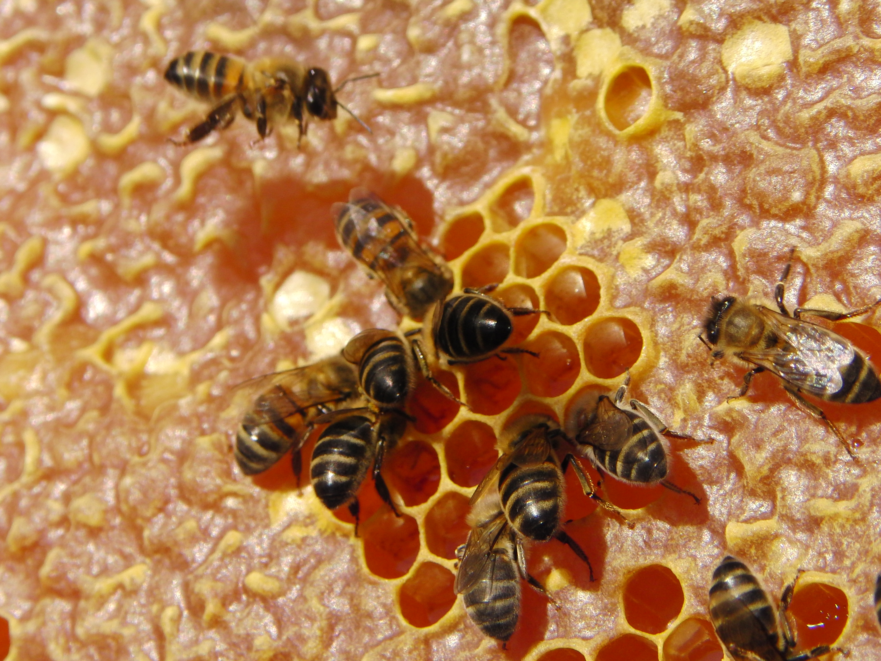 Abeja en panal de miel - Tenerife