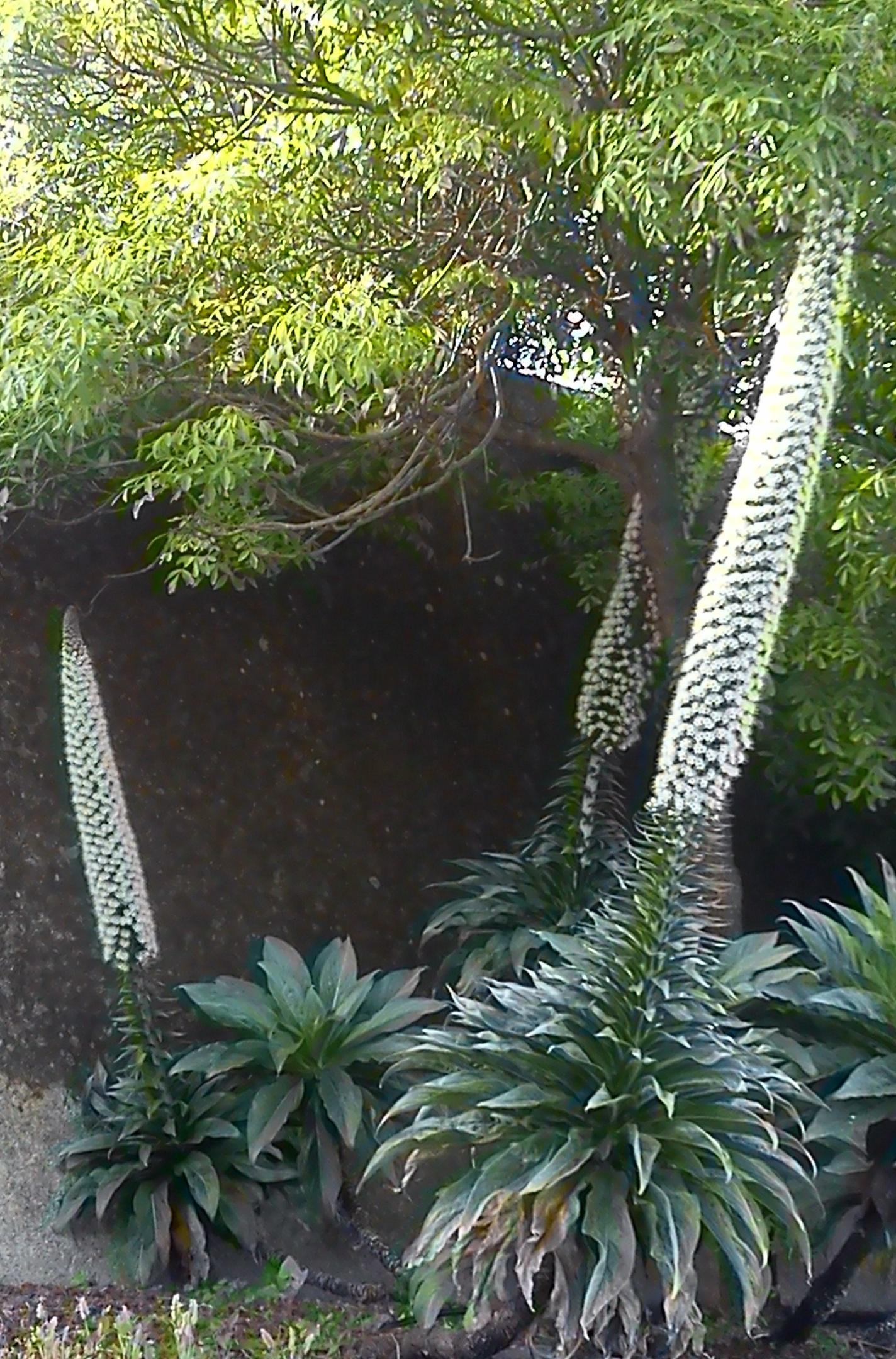 Tajinaste de Tenerife